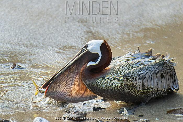 Brown Pelican (Pelecanus occidentalis) predating Amberstripe Scad (Decapterus muroadsi), Bainbridge Rocks, Santiago Island, Galapagos Islands, Ecuador