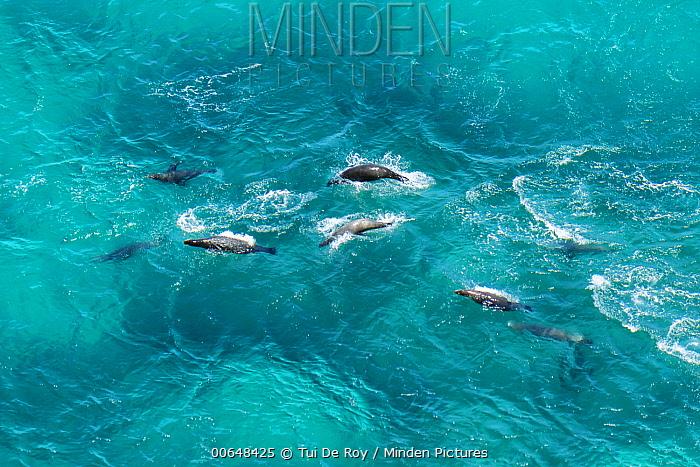 Galapagos Sea Lion (Zalophus wollebaeki) group surfacing, Bainbridge Rocks, Santiago Island, Galapagos Islands, Ecuador