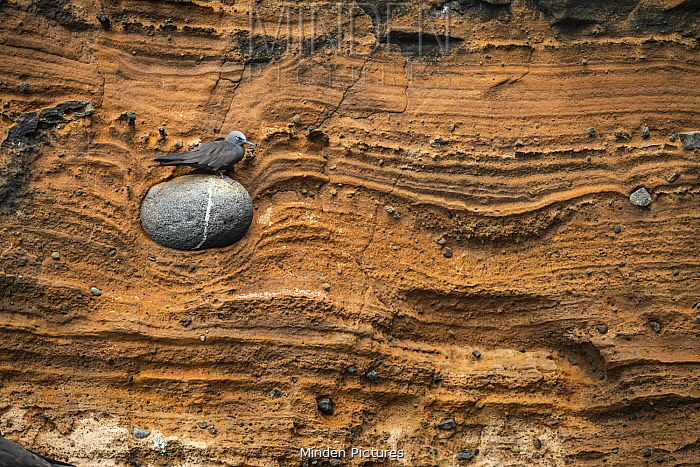 Brown Noddy (Anous stolidus) on rock embedded in cliff, Punta Vicente Roca, Isabela Island, Galapagos Islands, Ecuador