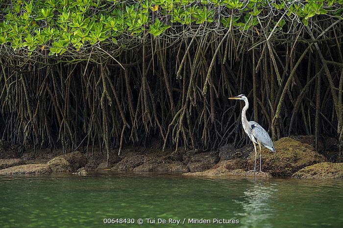 Great Blue Heron (Ardea herodias) on coast with mangroves, Turtle Cove, Santa Cruz Island, Galapagos Islands, Ecuador