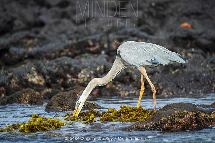 Great Blue Heron (Ardea herodias) hunting, Urvina Bay, Isabela Island, Galapagos Islands, Ecuador