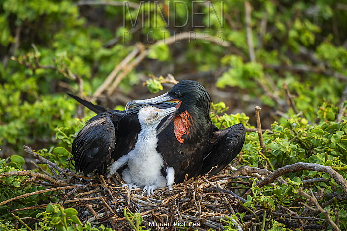 Great Frigatebird (Fregata minor) parent feeding chick on nest, Genovesa Island, Galapagos Islands, Ecuador