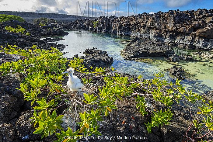 Great Frigatebird (Fregata minor) chick at coast, Genovesa Island, Galapagos Islands, Ecuador