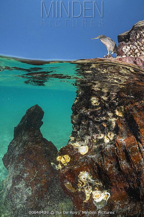 Lava Heron (Butorides sundevalli) at coast, Itabaca Channel, Santa Cruz Island, Galapagos Islands, Ecuador