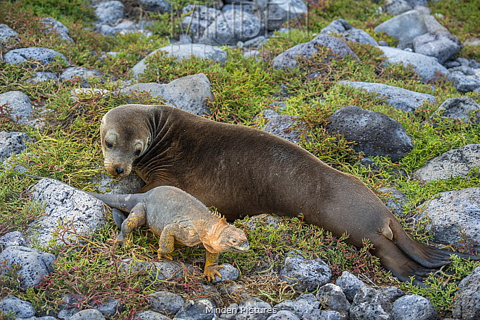 Galapagos Land Iguana (Conolophus subcristatus) and Galapagos Sea Lion (Zalophus wollebaeki), Plazas Island, Galapagos Islands, Ecuador