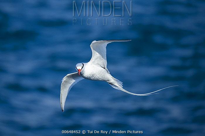 Red-billed Tropicbird (Phaethon aethereus) flying, Plazas Island, Galapagos Islands, Ecuador