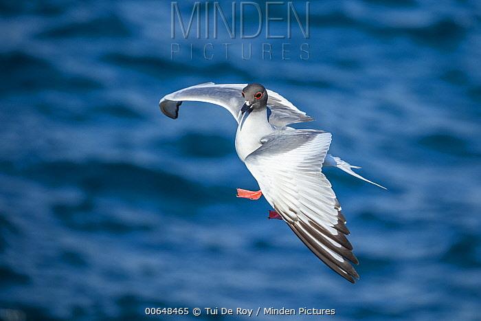 Swallow-tailed Gull (Creagrus furcatus) landing, Plazas Island, Galapagos Islands, Ecuador