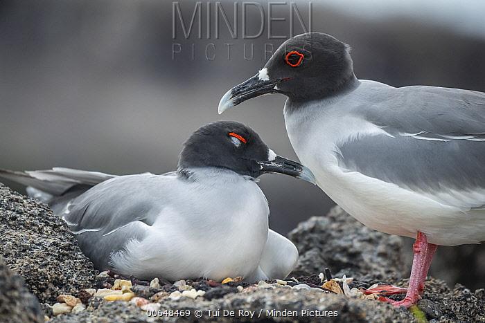 Swallow-tailed Gull (Creagrus furcatus) pair at nest, Genovesa Island, Galapagos Islands, Ecuador