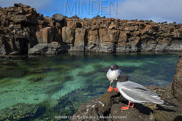 Swallow-tailed Gull (Creagrus furcatus) pair at coast, Genovesa Island, Galapagos Islands, Ecuador