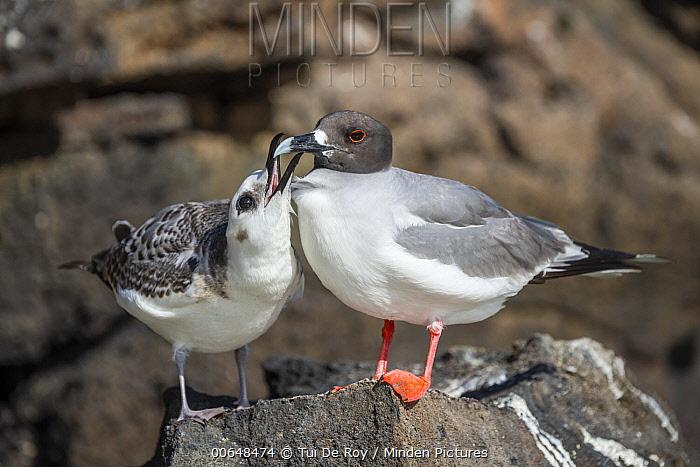 Swallow-tailed Gull (Creagrus furcatus) parent with begging chick, Genovesa Island, Galapagos Islands, Ecuador