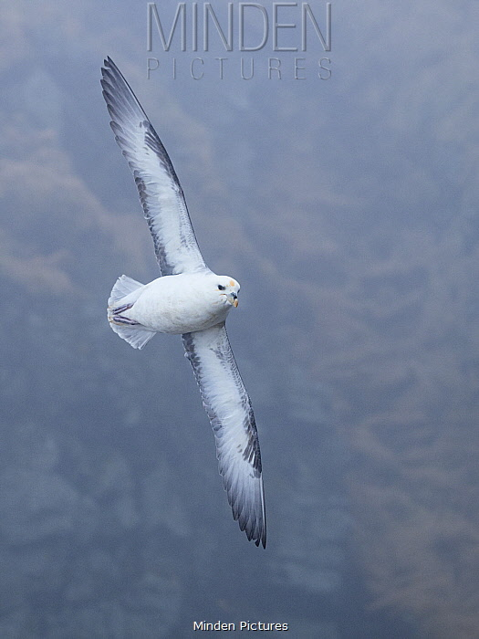 Northern Fulmar (Fulmarus glacialis) flying, Hornstrandir Nature Reserve, Iceland