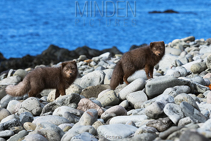 Arctic Fox (Alopex lagopus) pair, dark color to blend in with beaches where they hunt, Iceland