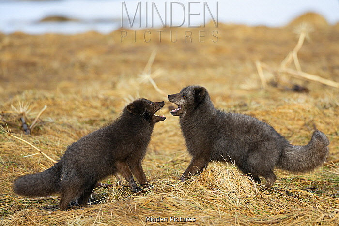Arctic Fox (Alopex lagopus) pair fighting, dark color to blend in with beaches where they hunt, Hornstrandir Nature Reserve, Iceland