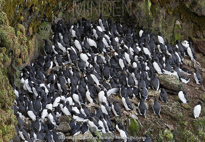 Common Murre (Uria aalge) flock, Iceland