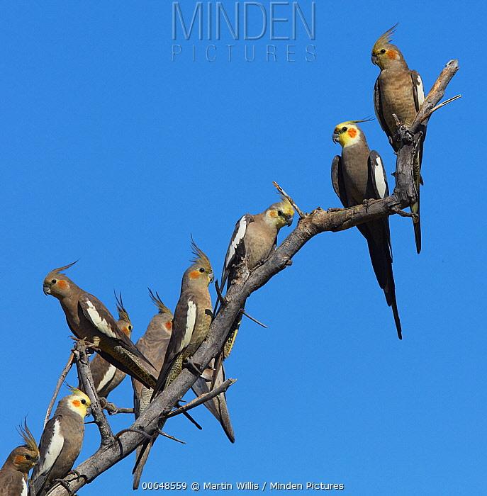 Cockatiel (Nymphicus hollandicus) flock, Georgetown, Queensland, Australia