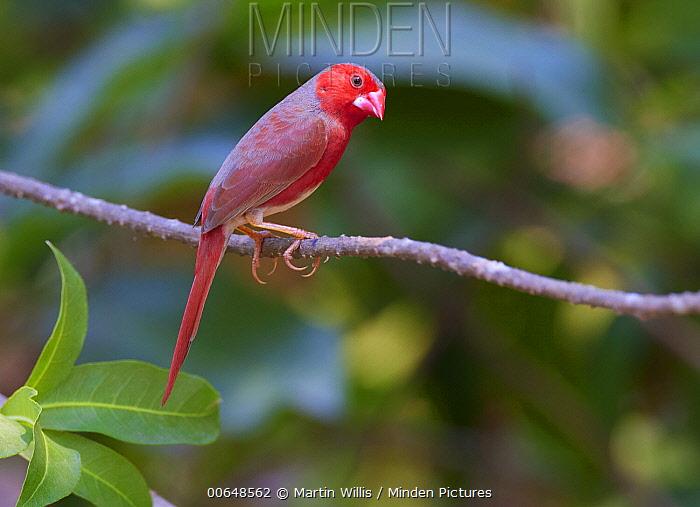 Crimson Finch (Neochmia phaeton), Lakefield National Park, Queensland, Australia