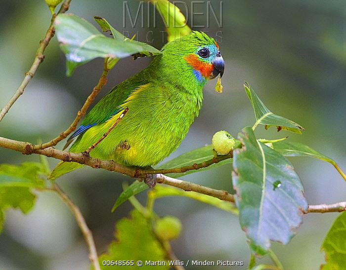 Double-eyed Fig-Parrot (Cyclopsitta diophthalma) feeding on fruit, Malanda, Queensland, Australia