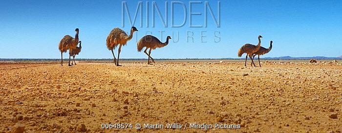 Emu (Dromaius novaehollandiae) group on road in desert, Winton, Queensland, Australia