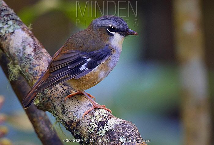 Grey-headed Robin (Heteromyias cinereifrons), Malanda, Queensland, Australia