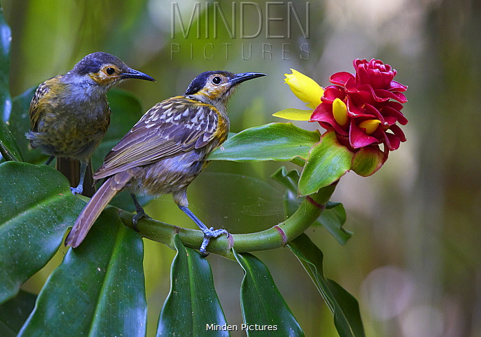 Macleay's Honeyeater (Xanthotis macleayanus) pair, Malanda, Queensland, Australia