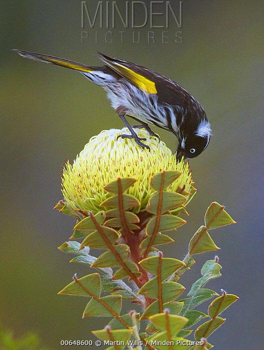 New Holland Honeyeater (Phylidonyris novaehollandiae) feeding on flower nectar, Cheyne Beach, Western Australia, Australia