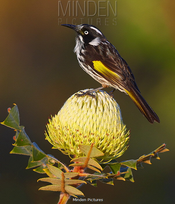 New Holland Honeyeater (Phylidonyris novaehollandiae), Cheyne Beach, Western Australia, Australia
