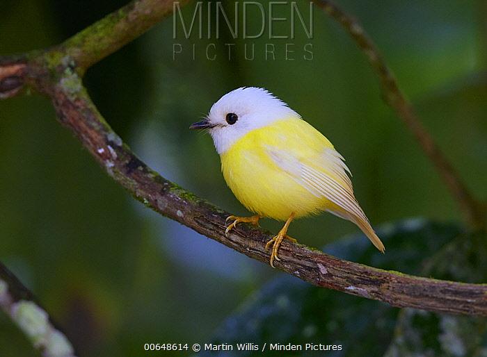 Pale-yellow Robin (Tregellasia capito), Yungaburra, Queensland, Australia