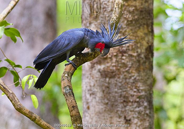 Palm Cockatoo (Probosciger aterrimus), Kutini-Payamu National Park, Queensland, Australia
