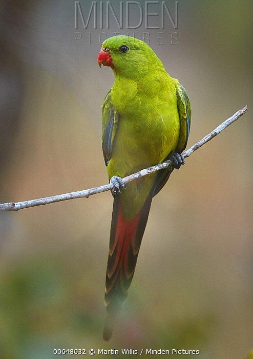 Regent Parrot (Polytelis anthopeplus), Stirling Range National Park, Western Australia, Australia