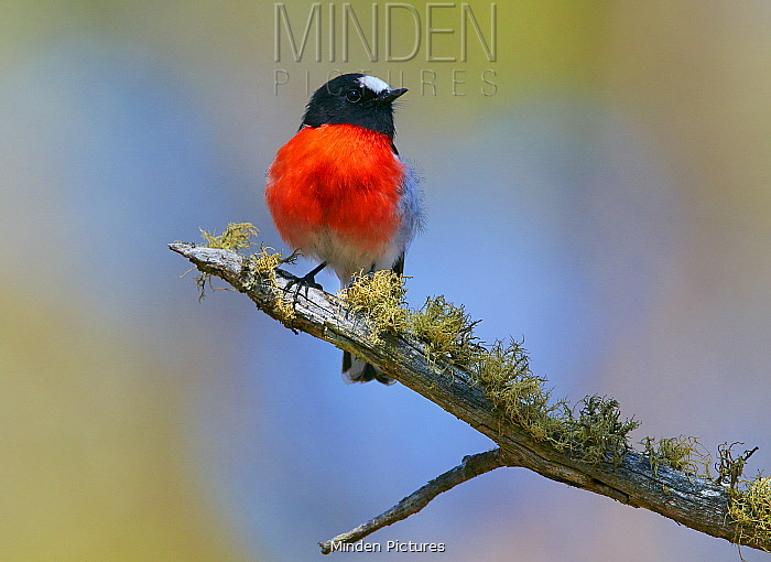 Scarlet Robin (Petroica boodang) male, Cooma, New South Wales, Australia