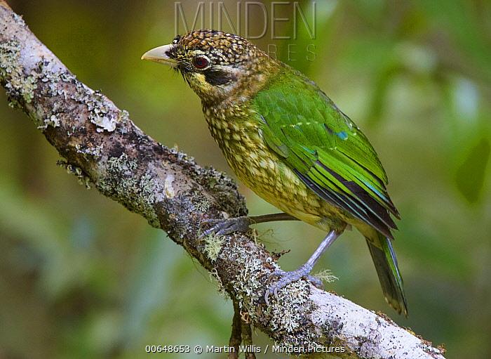 Spotted Catbird (Ailuroedus melanotis), Malanda, Queensland, Australia