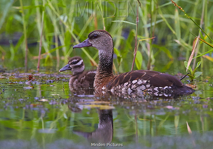 Spotted Whistling-Duck (Dendrocygna guttata) parent with duckling, Daintree River, Queensland, Australia