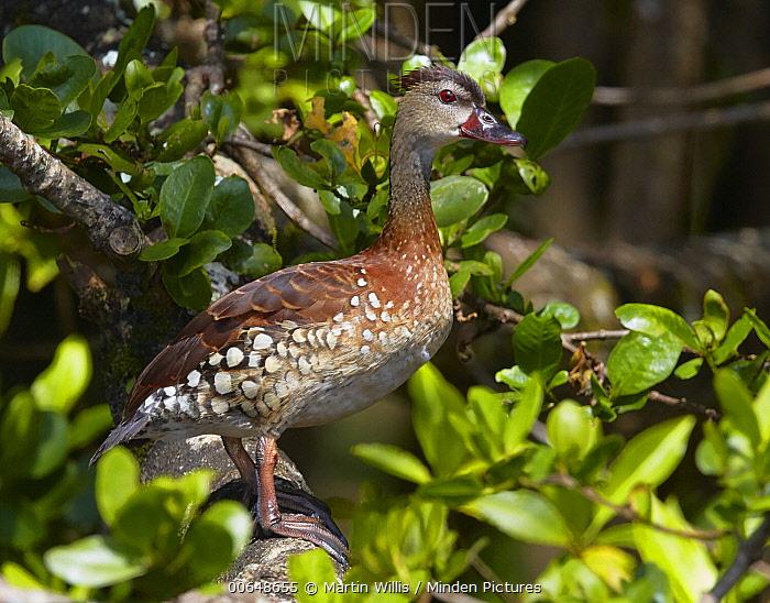 Spotted Whistling-Duck (Dendrocygna guttata), Daintree River, Queensland, Australia