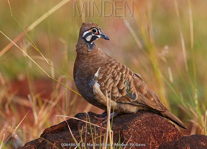Squatter Pigeon (Geophaps scripta), Georgetown, Queensland, Australia