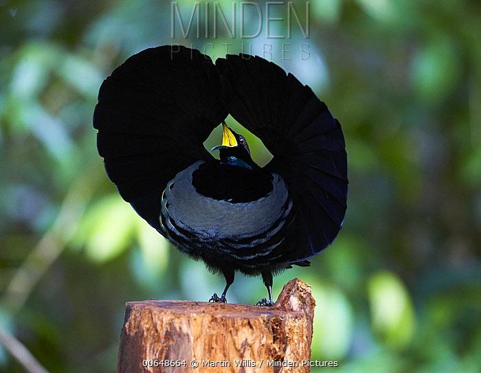 Victoria's Riflebird (Ptiloris victoriae) male displaying at display post, Malanda, Queensland, Australia