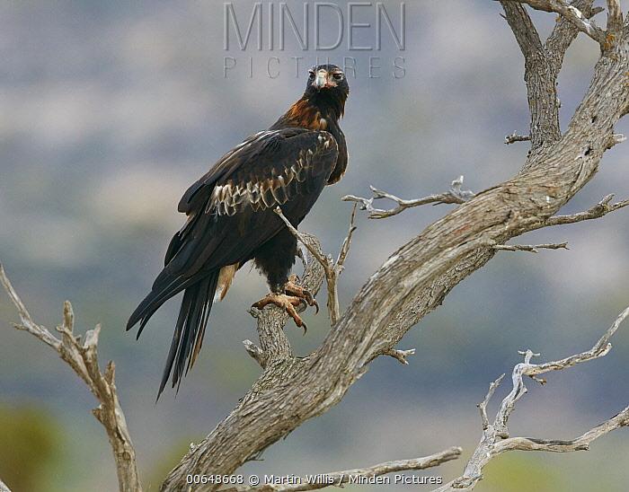 Wedge-tailed Eagle (Aquila audax), Queensland, Australia