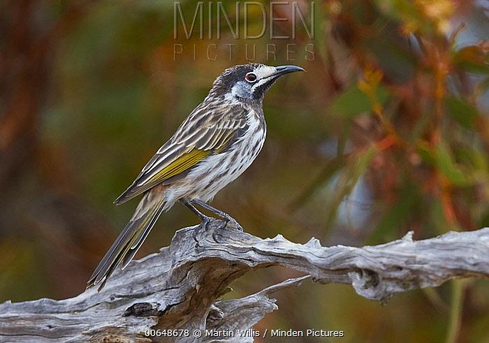 White-fronted Honeyeater (Phylidonyris albifrons), Nullarbor Plain, Western Australia, Australia