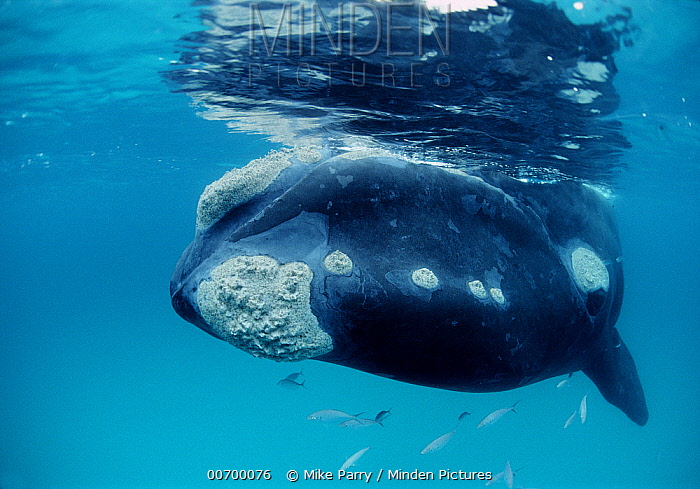 Southern Right Whale (Eubalaena australis) swimming towards camera, Western Australia  -  Mike Parry