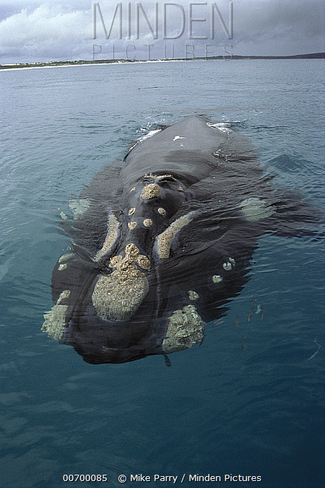 Southern Right Whale (Eubalaena australis) surfacing, western Australia  -  Mike Parry