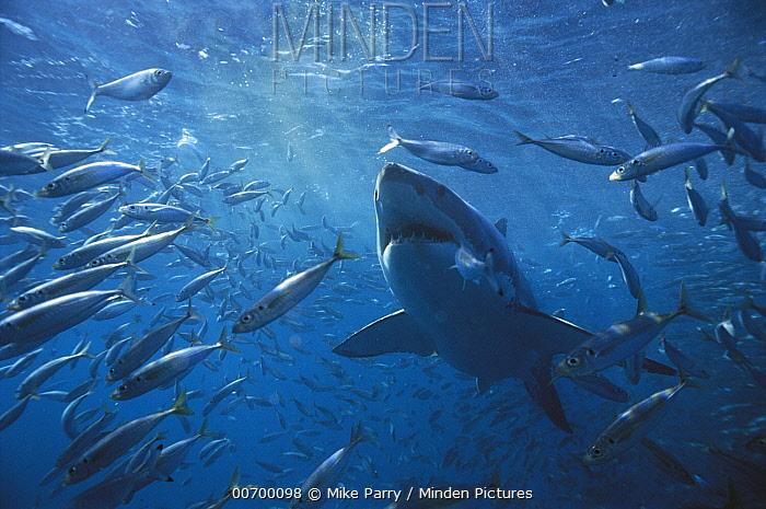 Great White Shark (Carcharodon carcharias) swimming through school of fish, Neptune Islands, Australia