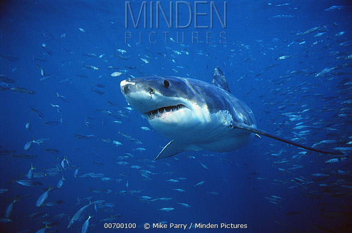 Great White Shark (Carcharodon carcharias) swimming through a school of fish, Neptune Islands, South Australia  -  Mike Parry