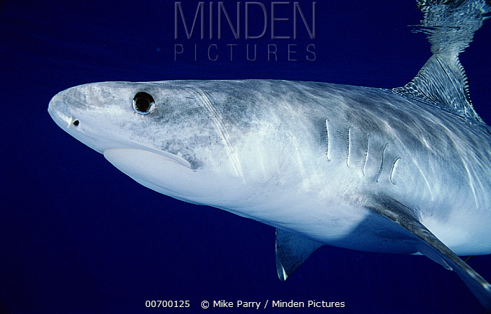 Tiger Shark (Galeocerdo cuvieri) portrait, Marion Reef, Coral Sea, Australia  -  Mike Parry
