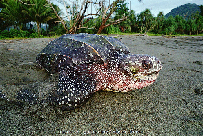 Leatherback Sea Turtle (Dermochelys coriacea) on land, Huon Gulf, Papua New Guinea, critically endangered  -  Mike Parry