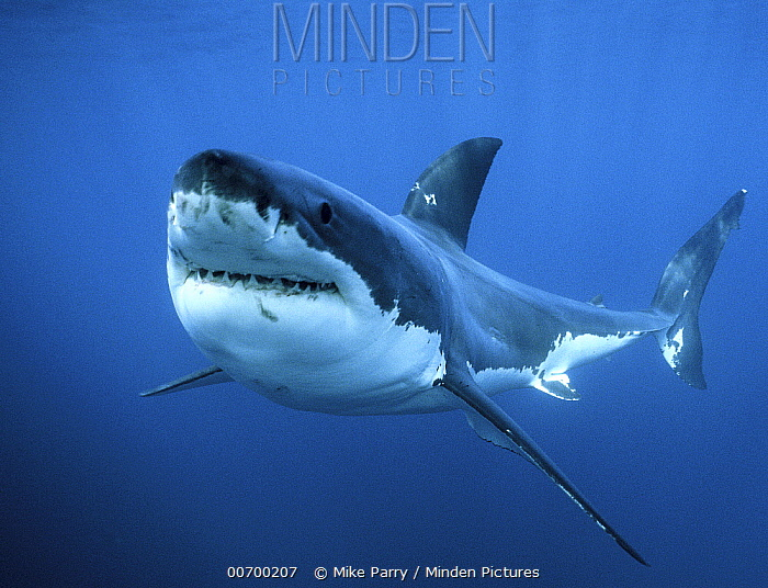 Great White Shark (Carcharodon carcharias), Neptune Islands, Australia  -  Mike Parry