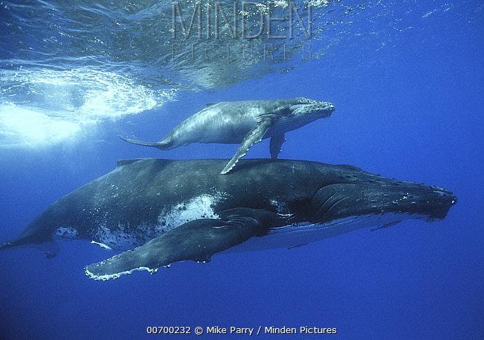 Humpback Whale (Megaptera novaeangliae) mother and calf, Tonga  -  Mike Parry