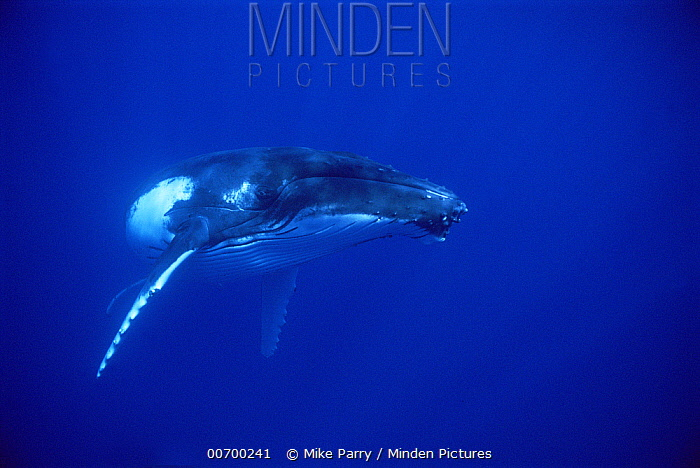 Humpback Whale (Megaptera novaeangliae) portrait, Tonga  -  Mike Parry