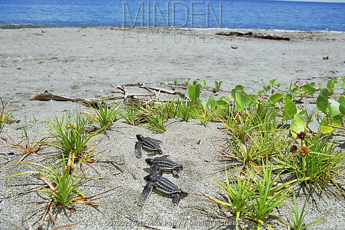 Leatherback Sea Turtle (Dermochelys coriacea) hatchling trio heading to sea, Huon Gulf, Papua New Guinea  -  Mike Parry