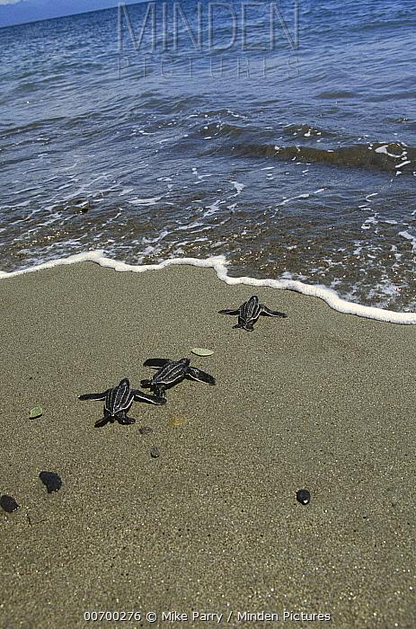 Leatherback Sea Turtle (Dermochelys coriacea) hatchling trio entering sea, Huon Gulf, Papua New Guinea