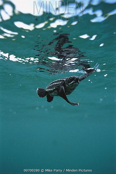 Leatherback Sea Turtle (Dermochelys coriacea) hatchling swimming, Huon Gulf, Papua New Guinea  -  Mike Parry