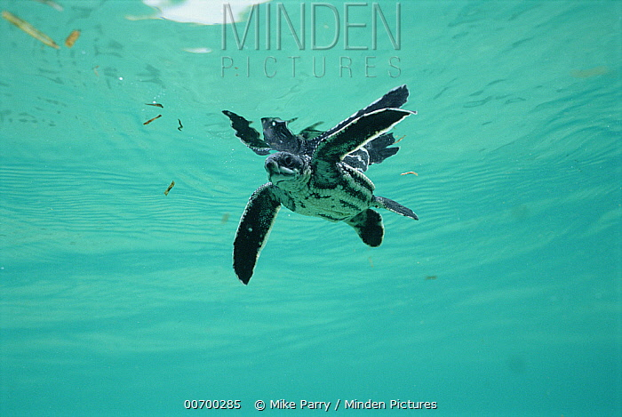 Leatherback Sea Turtle (Dermochelys coriacea) underwater view of swimming hatchling, Huon Gulf, Papua New Guinea  -  Mike Parry